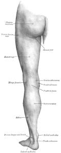 picture of hamstring